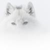 Vincent Munier : des Vosges à l'Arctique